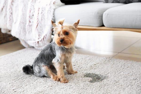 Pourquoi mon chien fait toujours pipi dans la maison ?